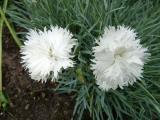 Dianthus grat. Ohrid.JPG