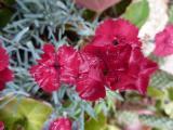 Dianthus grat. Rubin.JPG