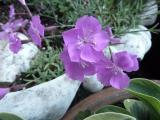 Dianthus Schale.JPG