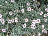 Dianthus Starry Eyes.JPG