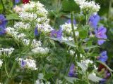 Weiße Spornblume mit Geranium Brooksite.JPG