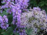 Allium Christopii mit Ziest Superba.JPG