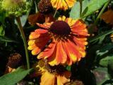 Helenium Sahin Early Flowerer (2).JPG