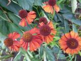 Helenium Red Velvet.JPG