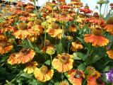 Helenium Sahin Early Flowerer.JPG