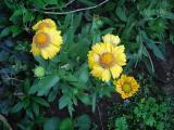 k-Kokardenblume gelb 1 2011.JPG