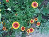 k-Kokardenblume gelb-rot 1 2011.JPG