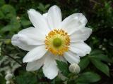 Anemone Ruffled Swan.JPG