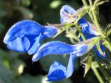 Salvia patens cambridge blue 2.JPG