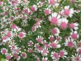 Aster lateriflorus var. horizontalis Lady in Black.JPG