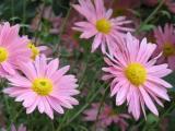 Chrysanthemum Steinbacher Auslese.JPG