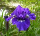 Iris sibirica großblumig blau 19.5.12.jpg