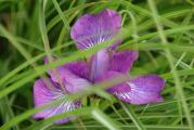 Iris sib lila.JPG