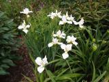 k-Iris sib weiß namenlos  01 2014.JPG