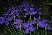 k-iris4 018.jpg