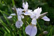 Iris sib SLG.JPG