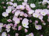Oenothera Twilight.JPG