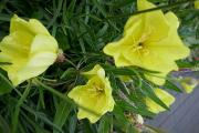 Oenothera macrocarpa.JPG