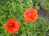 Oranger Mohn 2007.jpg