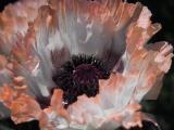 k-Papaver Springtime.jpg