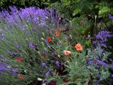 Mohn mit Lavendel.jpg