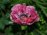 Mohn Pretty Plum2.jpg