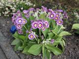 Tulpen 069.JPG