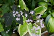 Thalictrum ichangense Evening Star.JPG