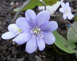 Hepatica nobilis hellblau.JPG