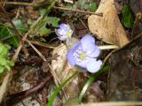 hellblaues Leberblümchen.jpg