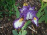 weiß-violette nana_.jpg