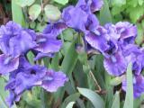 iris blua unbekannt.jpg