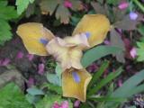 Iris unbekannt.jpg