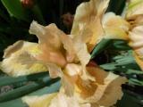 Iris Orchid Flair 3.JPG