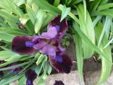 Iris Samtpfötchen 1.JPG