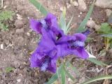 k-Iris nana nn 02 2013.JPG