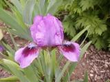 k-Iris spec. falsch 01 2013.JPG