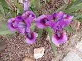k-Zwergiris violett 02 2014.JPG