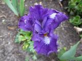 Iris bn Titled.JPG