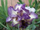 Iris plicata on (2).JPG