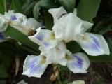 Iris bn Blue Pools (2).JPG