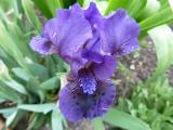 Iris bn BW87 (2).JPG