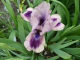 Iris bn LA318B .JPG