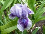 Iris bn Stormsong.JPG