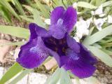 k-Blauzwerg 04.05.16 007.JPG