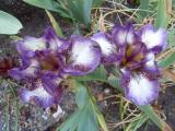 Iris plicata on.JPG