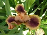 Iris LA 318A.JPG