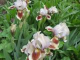 Iris (3).JPG