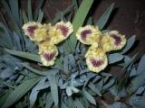 Iris 2009 214.jpg