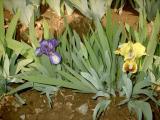 Iris 2009 266.jpg